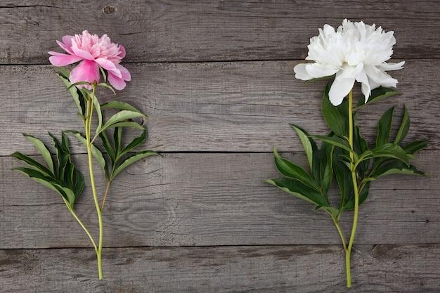 Rosa und weiße blühende pfingstrosenblume auf dem hintergrund der alten bretter mit textur.
