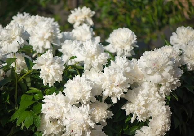 Rosa und weiße blumenpfingstrosen, die auf rosa pfingstrosen des hintergrunds blühen.