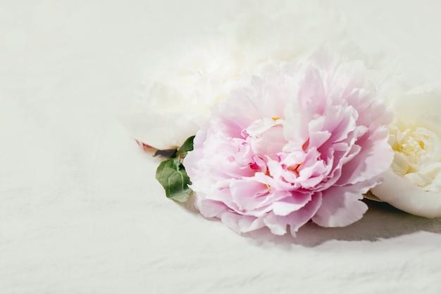 Rosa und weiße pfingstrosenblüten mit blättern. nahaufnahme, speicherplatz kopieren