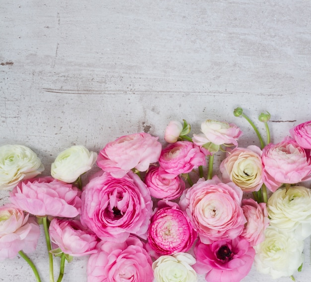 Rosa und weiße ranunkelblumenköpfe begrenzen auf gealtertem weißem hölzernem desktop