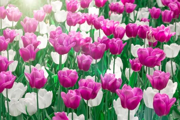 Rosa und weiße tulpen in einem blumenblumenbeet