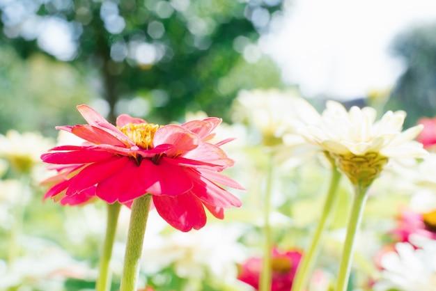 Rosa und weiße zinnienblumen