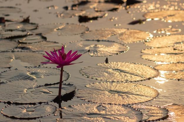 Rosa wasser-lillie in thailand