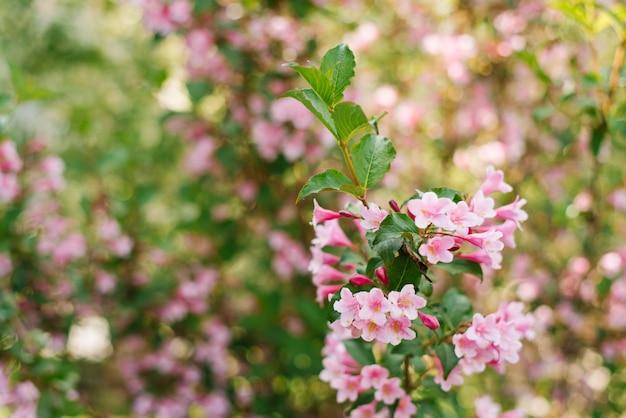 Rosa weigela blüht auf einem zweig im garten im sommer.