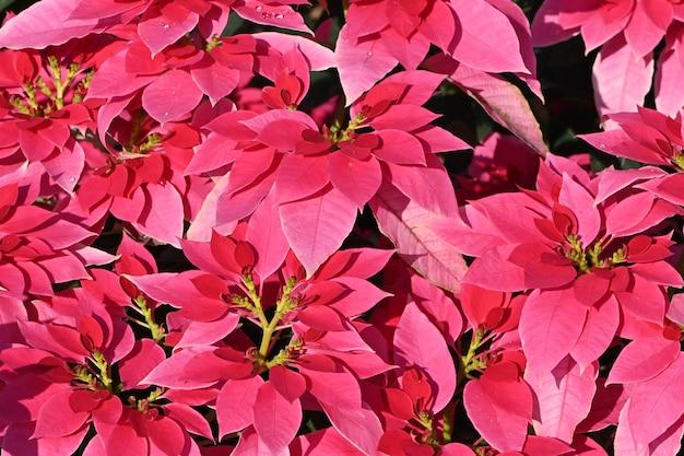 Rosa weihnachten princettia poinsettia euphorbia pulcherrima draufsichtabschluß oben.