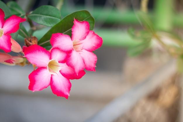 Rosa wüstenrose oder impala lily oder scheinazaleenblume vom tropischen klima