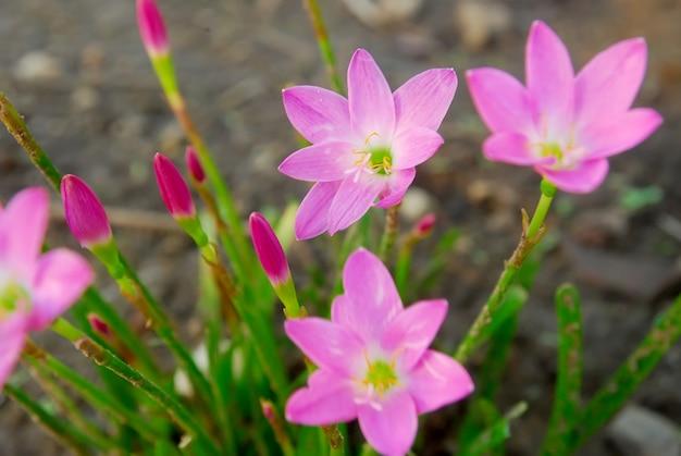 Rosa zephyranthes blumen blühen im garten