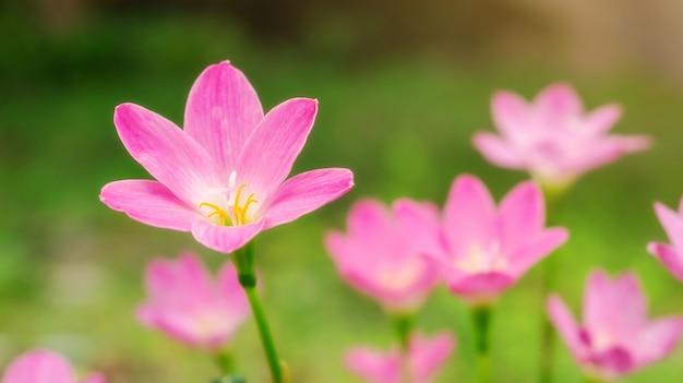 Rosa zephyranthes-lilienblume in einem garten
