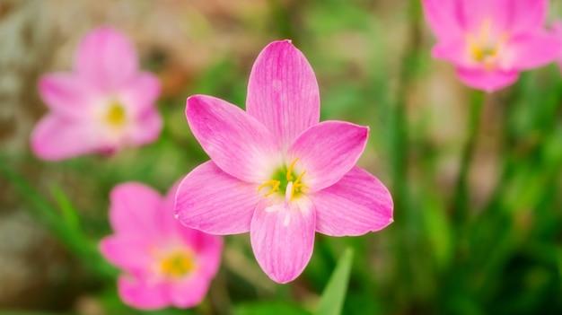 Rosa zephyranthes-lilienblume in einem garten.