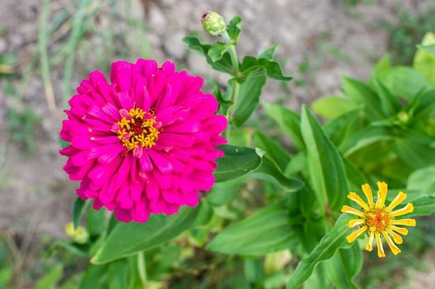 Rosa zinnia nahaufnahme, schöne unprätentiöse sommerblume im garten