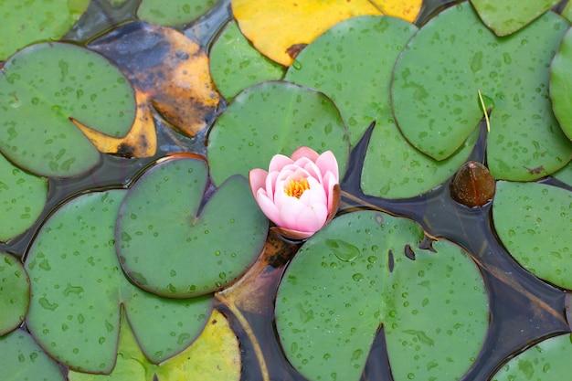Rosafarbene blume der lilienknospe unter blättern auf dem wasser
