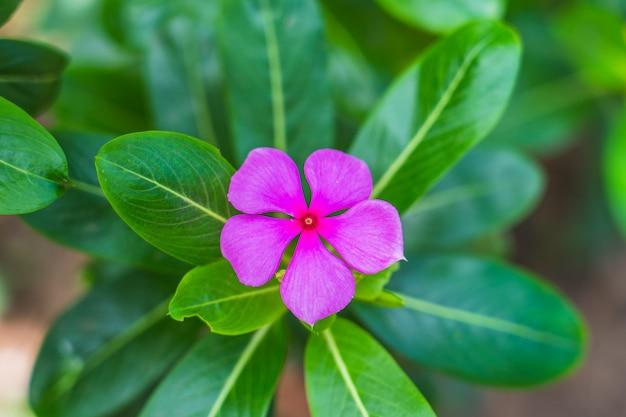 Rosafarbene blume im garten, westindisches singrün, mit platz für text