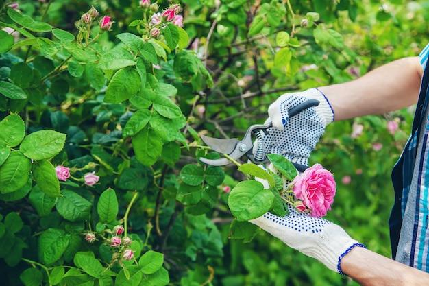 Rosafarbene scheren des gärtnermannbeschneidungstees.