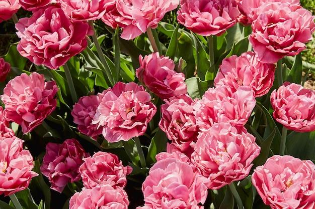 Rosafarbene tulpen. blumen. ansicht von oben