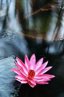 Rosafarbener lotos im teich