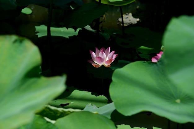 Rosafarbener lotos