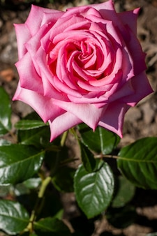 Rosafarbenes blumenblattkonzept der nahaufnahme