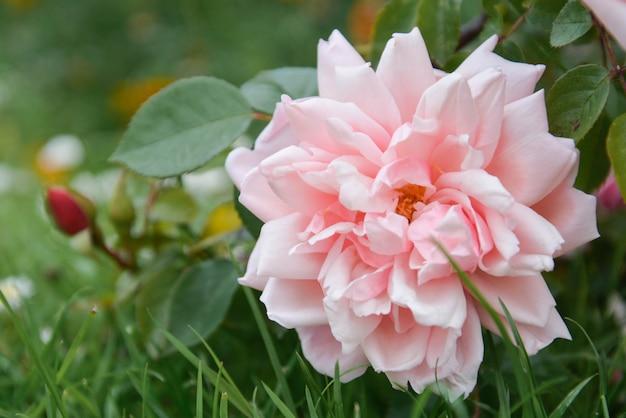 Rosafarbenes blumenwachsen des rosa englisches im garten, sommerzeit.