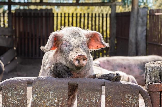 Rosafarbenes schwein im schlamm