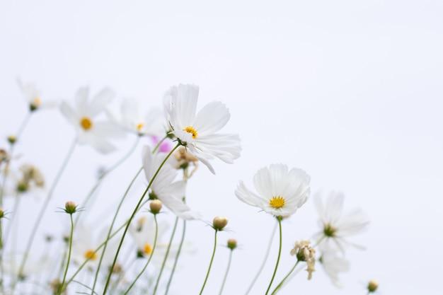 Rosafarbenes und weißes kosmosblumenfeld des schönen weichen selektiven fokus mit kopienraum