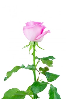 Rosarose auf weißem hintergrund