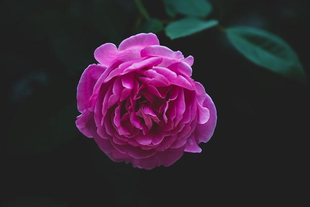 Rosarosen-blumenblüte auf blätter