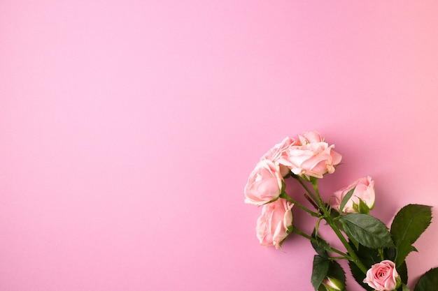 Rosarosenblumen auf pastellrosa