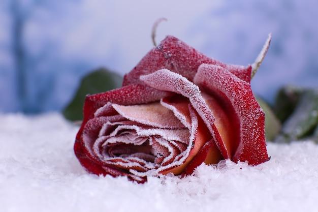 Rose bedeckt mit raureif nahaufnahme