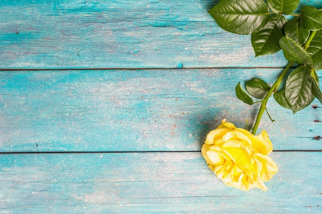 Rose dekorativer hintergrund. frische gelbe blume, hartes licht, dunkler schatten. türkisfarbener holzbretter hintergrund, ansicht von oben