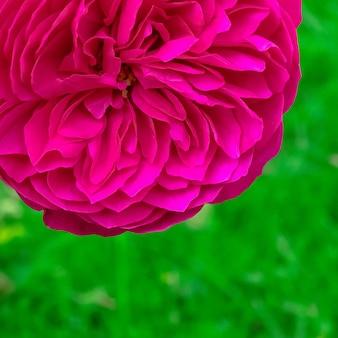 Rose im park. pflanzenliebhaber-konzept. minimal