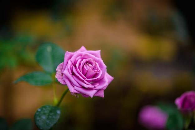Rose mit den knospen in einem romantischen blumengarten.