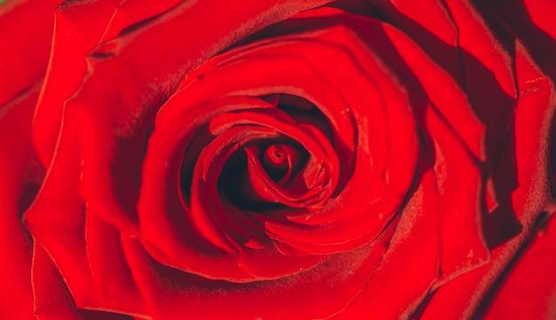 Rose nahaufnahme rote rose hintergrund