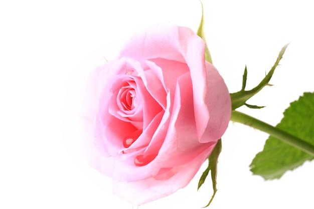 Rose sanftes rosa isoliert auf weißem hintergrund weicher selektiver fokus romantische zärtlichkeit