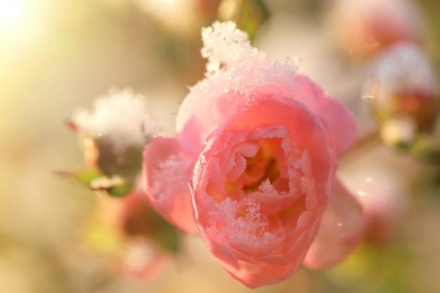 Rose unter dem schnee. rosa blume im schnee.