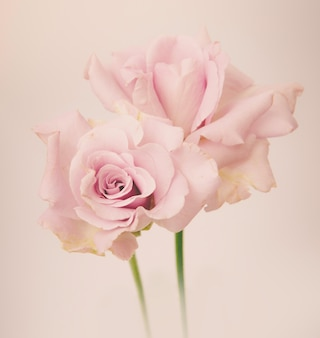 Rose vintage blumen