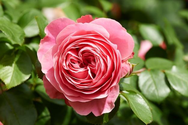 Rose zartes pastellrosa