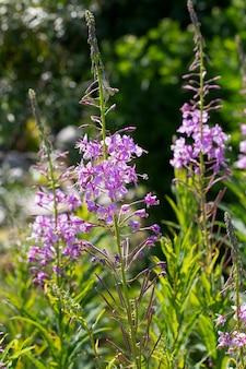 Rosebay weidenröschen chamerion angustifolium onograceae