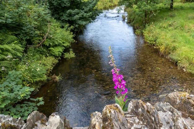 Rosebay willowherb wächst auf der alten steinbrücke von simonsbath