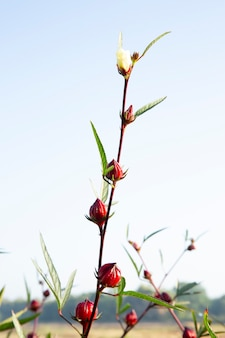 Roselle früchte blume, hibiscus sabdariffa oder roselle blume