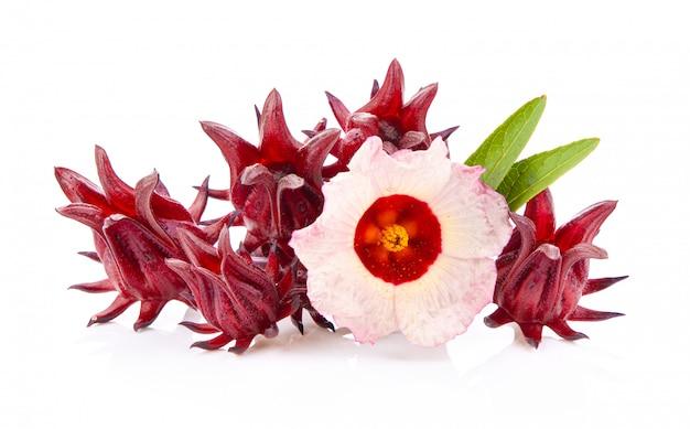 Roselle hibiskus auf weißer wand