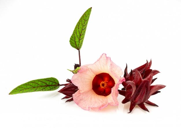 Roselle hibiskus isoliert auf weiß