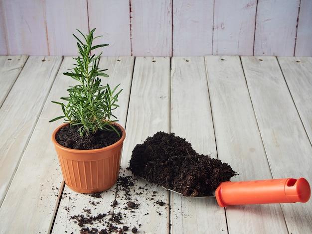 Rosemary wird in töpfen mit gartengeräten auf einem weißen holztisch gepflanzt.