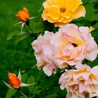 Rosen blühen im park pflanzenliebhaber-konzept