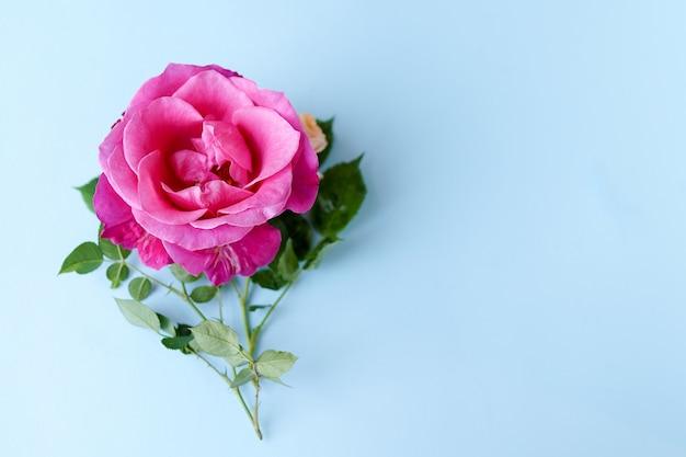 Rosen-blume auf blauem pastellhintergrund. valentinstag, muttertag, tag der frauen, frühlingssommerkonzept. flach legen, raum kopieren