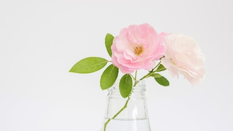 Rosen-Blume in einem Vase auf einem weißen Hintergrund
