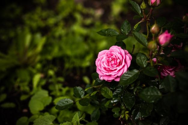 Rosen im garten. rosa blasser rosenbusch über sommergarten oder -park