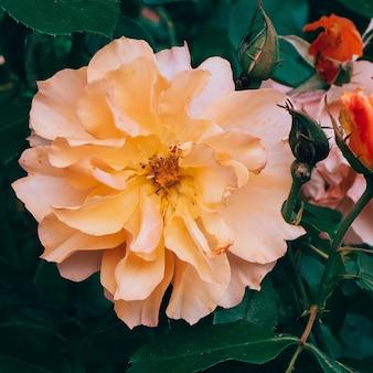 Rosen im park bloom flower liebhaber-konzept