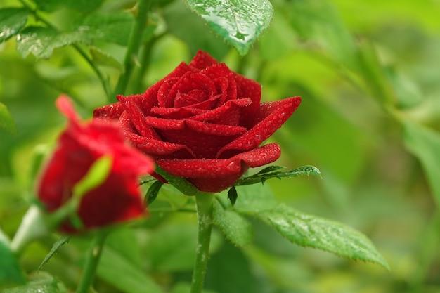 Rosen mit dem hintergrund unscharf