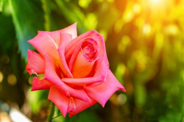 Rosenahaufnahme in den strahlen der untergehenden sonne