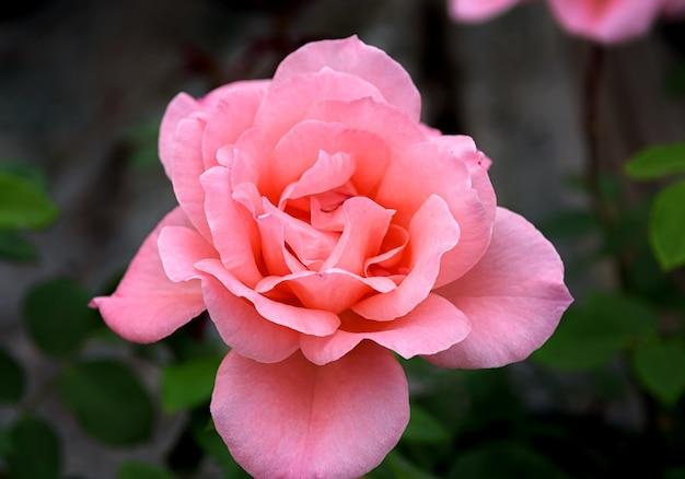 Rosenblüte der segenssorte rosa blüten